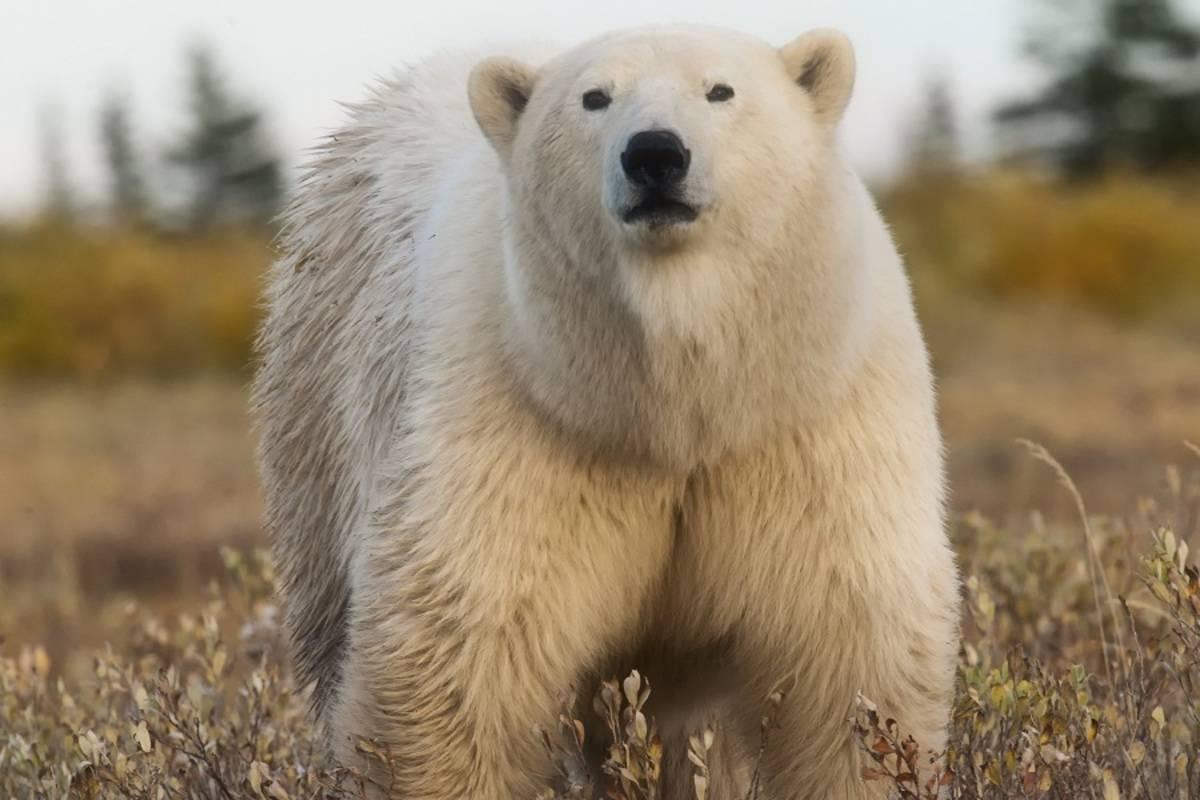 Ultimate Polar Bear Adventure: Lazy Bear Lodge