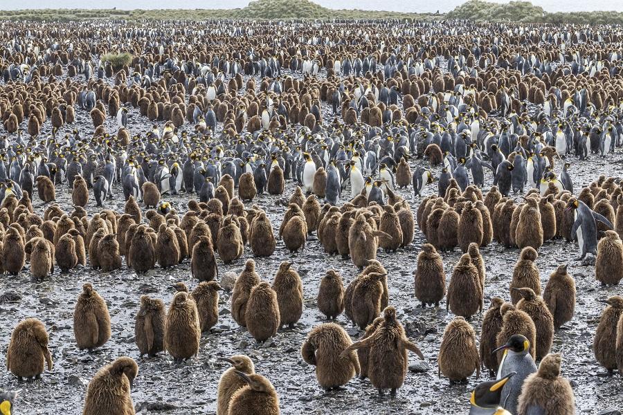 RCGS Resolute: Falkland Islands, South Georgia & Antarctica - Mega Colonies