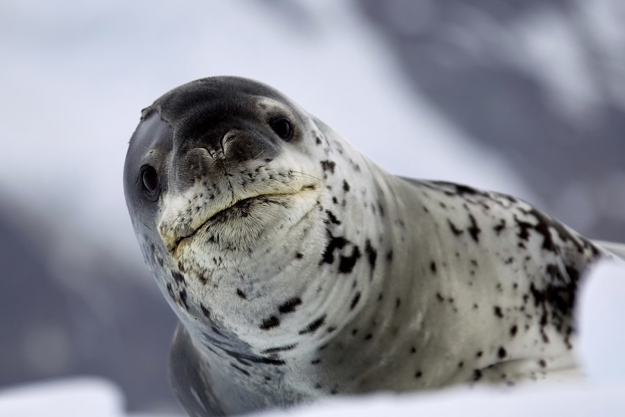 RCGS Resolute: Marine Mammals of Antarctica