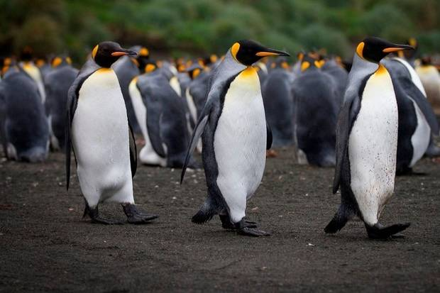 Spirit of Enderby: Macquarie Island Expedition - Galapagos of the Southern Ocean ex. Dunedin