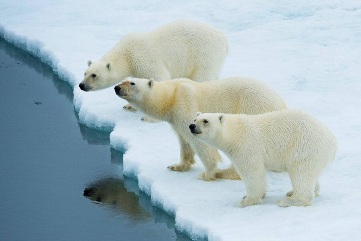 M/V Hondius: North Spitsbergen - In Search of Polar Bear & Pack Ice