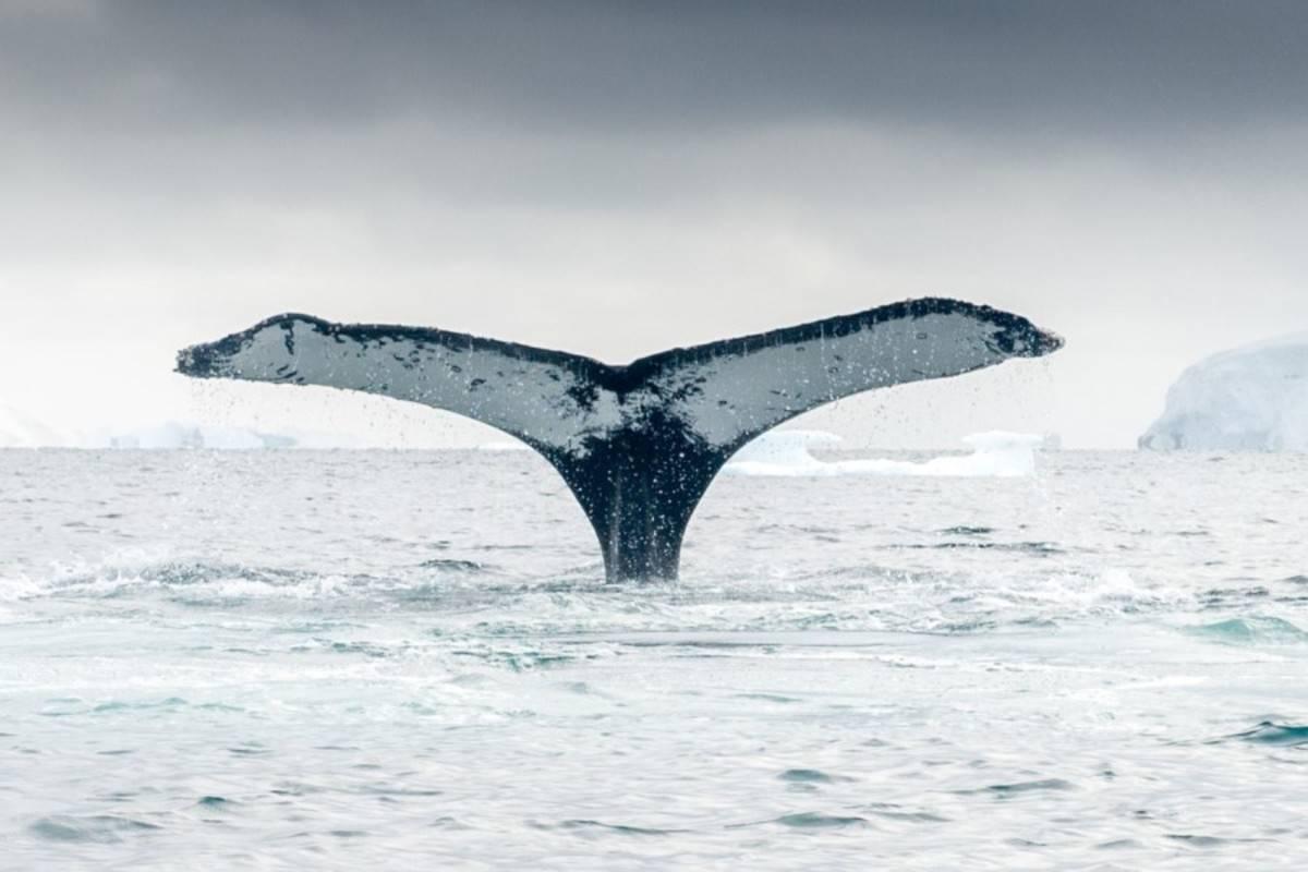 Hebridean Sky: Antarctic Whale Safari