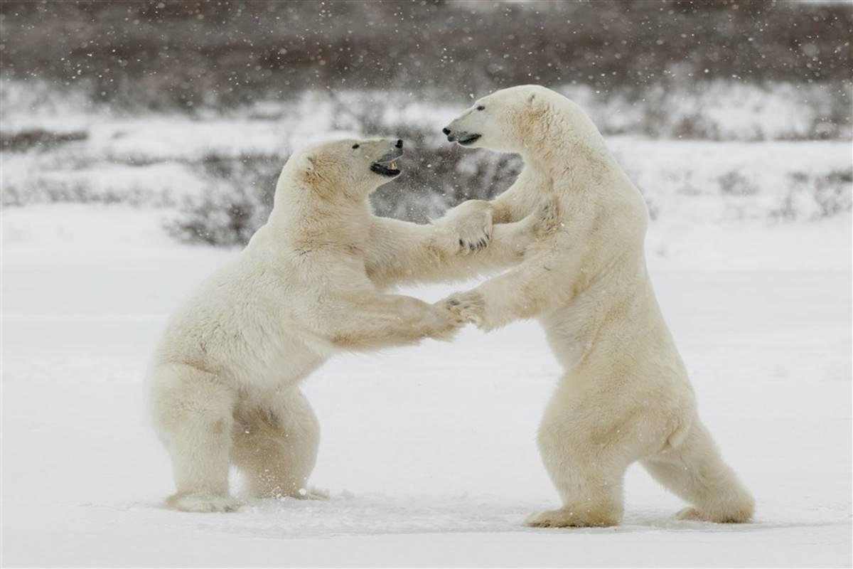 Svalbard in Spring - Polar Bears, Arctic Light & Epic Ice