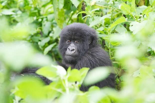 Uganda Gorilla Trekking Fly In Safari
