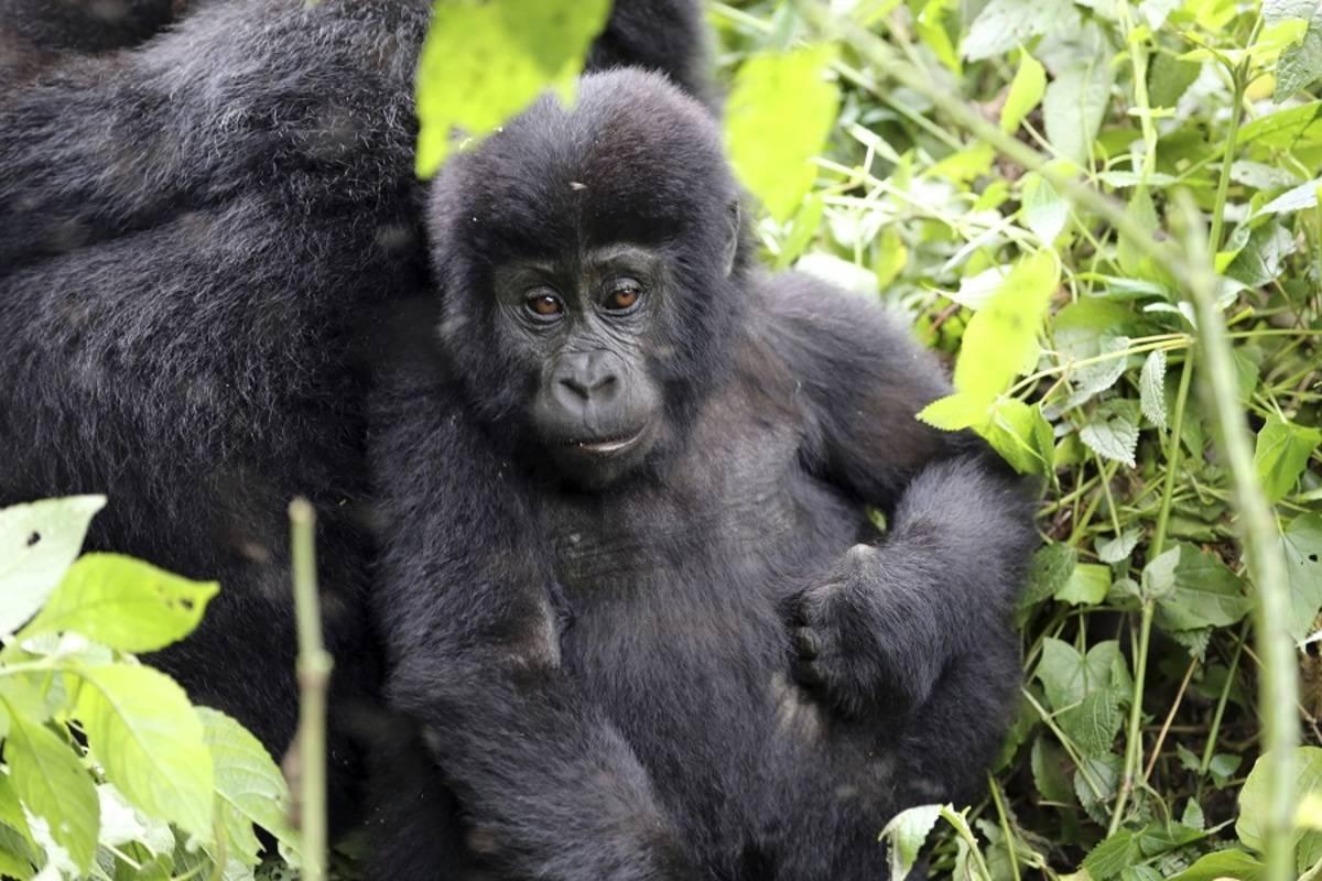 Uganda Gorilla & Chimp Safari