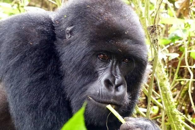 Masai Mara & Gorillas 2020