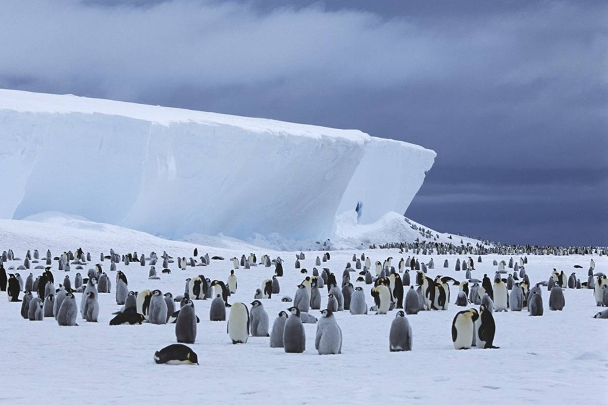 The Emperor Penguins of Bellingshausen Sea