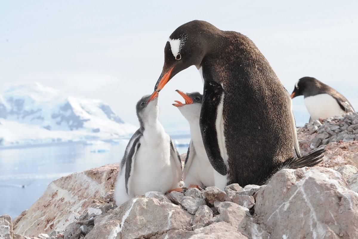 The Emperor Penguins of Bellinghausen Sea